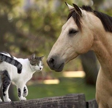 Mustang with cat on a fence.